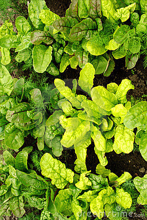 Beetroot plants