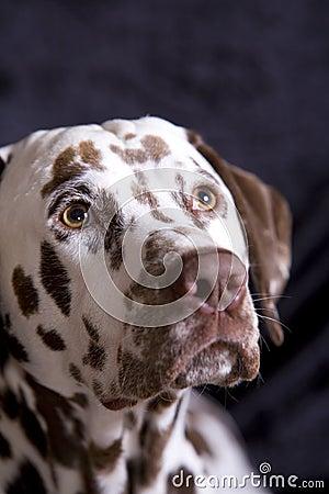 Free Begging Dalmatian Royalty Free Stock Image - 10799726