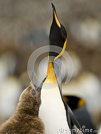 Begging For Food - King Penguin