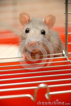 Begging Rat