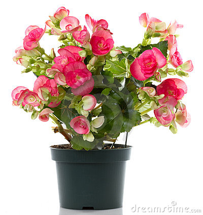 Free Begonia Flower Stock Photo - 16550630