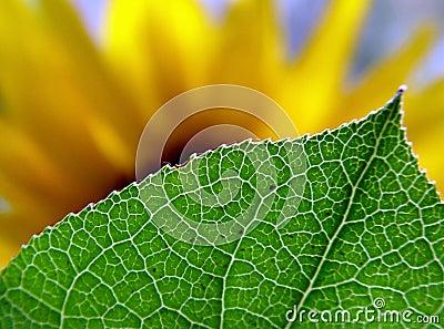 Behind the leaf