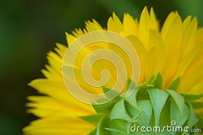 Behind a sunflower