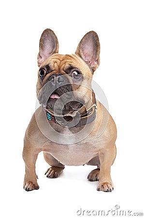 Beige French Bulldog
