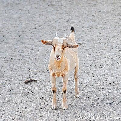 Beige goat standing