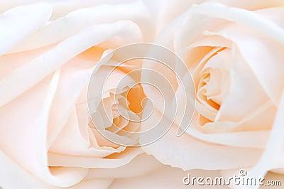 Beige roses