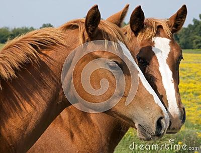 Foto de Stock Royalty Free: Beijo de dois cavalos. Imagem: 6648315