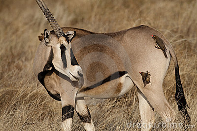 Beisa oryx with oxpeckers