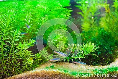 bel aquarium d 39 eau douce tropical plant vert avec des poissons photo libre de droits image. Black Bedroom Furniture Sets. Home Design Ideas