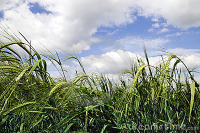 Belarus green wheat field and blue sky