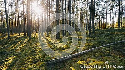 belarus Luz do sol bonita de Sun do por do sol no brilho dos raios de sol de Sunny Summer Coniferous Forest Sunlight através das  video estoque