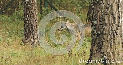 belatedness Δασικός ευρασιατικός λύκος - Λύκος Canis που τρέχει στο δάσος φθινοπώρου φιλμ μικρού μήκους