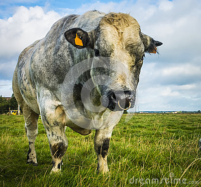 Free Belgian Blue Bull And Cow Stock Image - 61996411