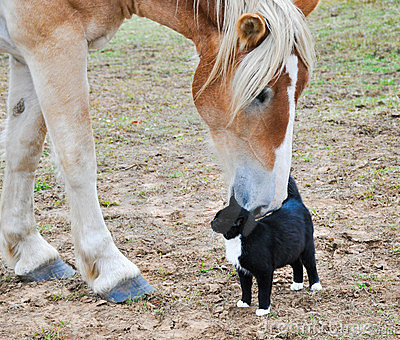 Belgian Draft horse with a cat