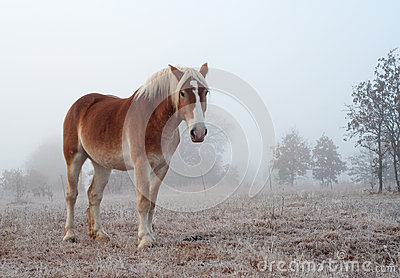 Belgian draft horse on a foggy winter morning