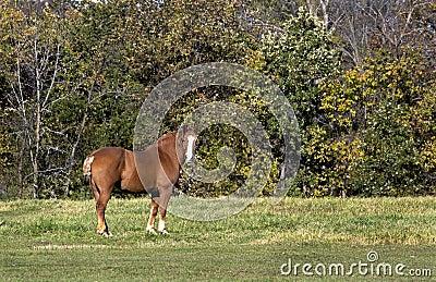 Belgian Draft Horse