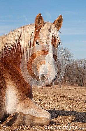 Free Belgian Draft Horse Taking A Nap In Pasture Stock Photos - 23502033