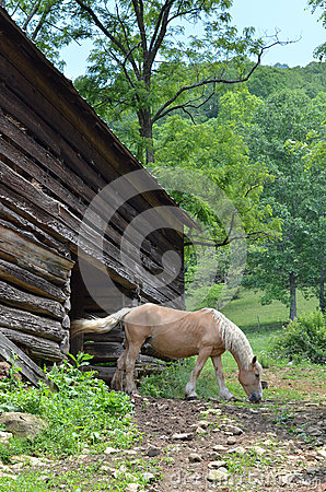 A Belgian horse