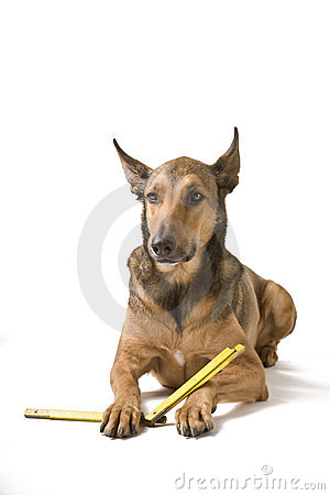 Belgian Malinois with Measurement instrument