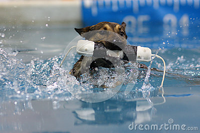 Belgian Malinois swimming with his bumper