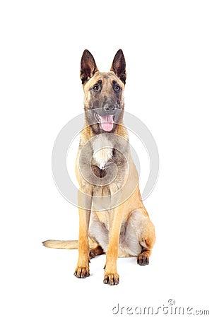 Belgian Shepherd Dog Royalty Free Stock Photo - Image ...