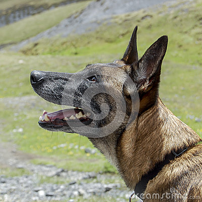 Belgian Shepherd dog or malinois