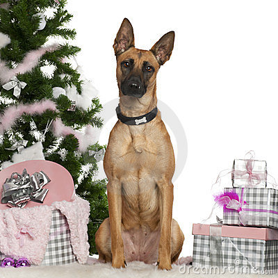 Belgian Shepherd Dog, Malinois, 1 year old