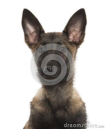 Belgian Shepherd Dog Puppy, 3 Months Old Royalty Free Stock Photos ...