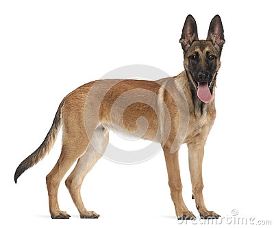 Belgian Shepherd Dog Puppy, 5 Months Old Royalty Free Stock Photo ...