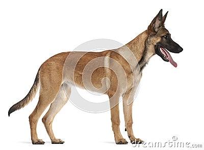 Belgian Shepherd Dog Puppy, 5 Months Old Royalty Free Stock Photos ...