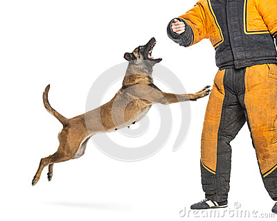 Belgian Shepherd jumping to attack trainer