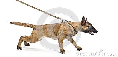 Belgian Shepherd leashed