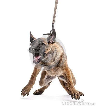 Belgian Shepherd leashed and aggressive
