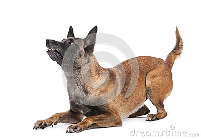 Belgian Shepherd lying in attack posture
