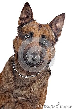 Belgian Shepherd portrait