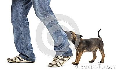 Belgian shepherd puppy biting leg