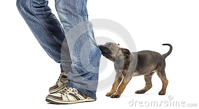 Belgian shepherd puppy biting and pulling leg