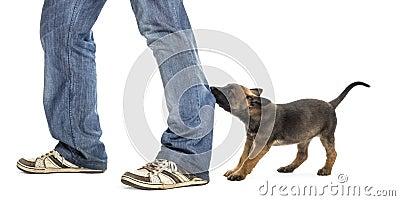 Belgian shepherd puppy biting and pulling leg