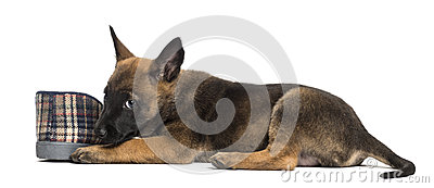 Belgian Shepherd puppy lying next to slipper
