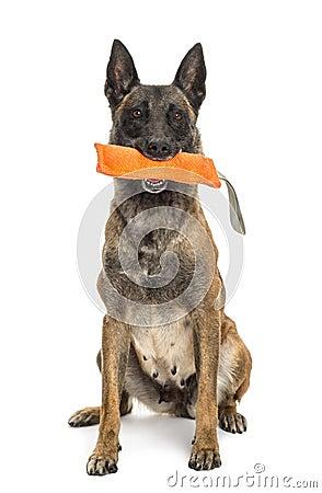 Belgian Shepherd sitting and holding orange toy