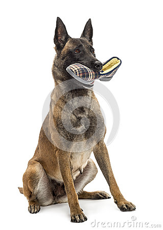 Belgian Shepherd sitting and holding a slipper
