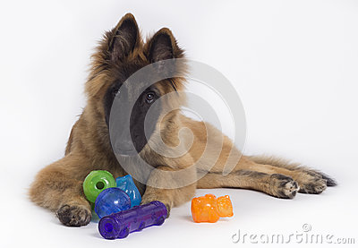 Belgian Shepherd Tervuren puppy with toys