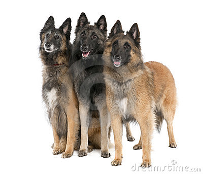 Belgian Tervuren ( 6, 3 And 2 Years Old) Royalty Free Stock Photos ...