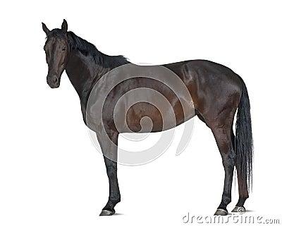 Belgian Warmblood horse, 5 years old