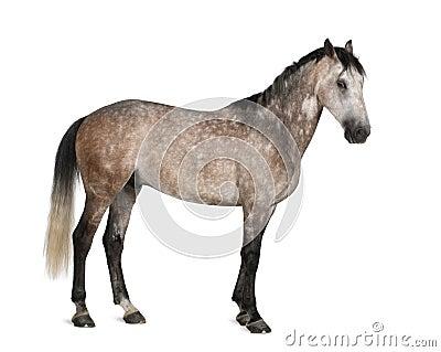 Belgian Warmblood horse, 6 years old, standing