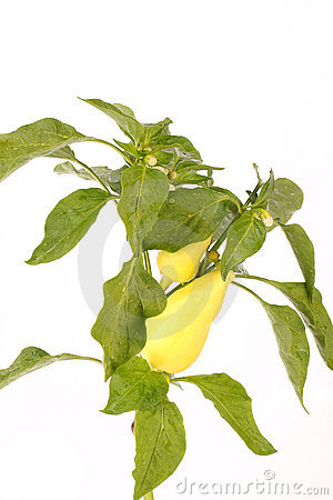 Bell Pepper Plant Royalty Free Stock Images - Image: 15571819