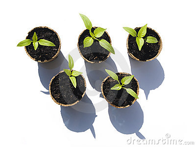 Bell Pepper Seedlings