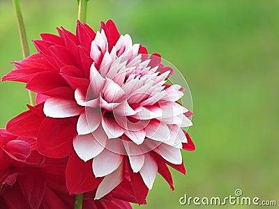 belle fleur de dahlia faisant du jardinage photo stock image 29377410. Black Bedroom Furniture Sets. Home Design Ideas