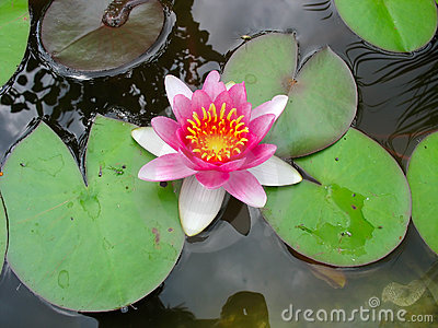 Belle fleur de lotus rose de floraison de lis d eau