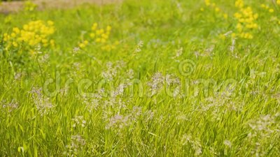Belle herbe balan?ant dans le vent Beau cadre merveilleux Centrales tr?s belles ?clairage merveilleux clips vidéos